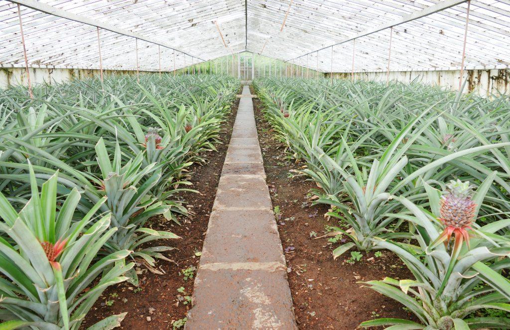 Bezoek een ananas plantage