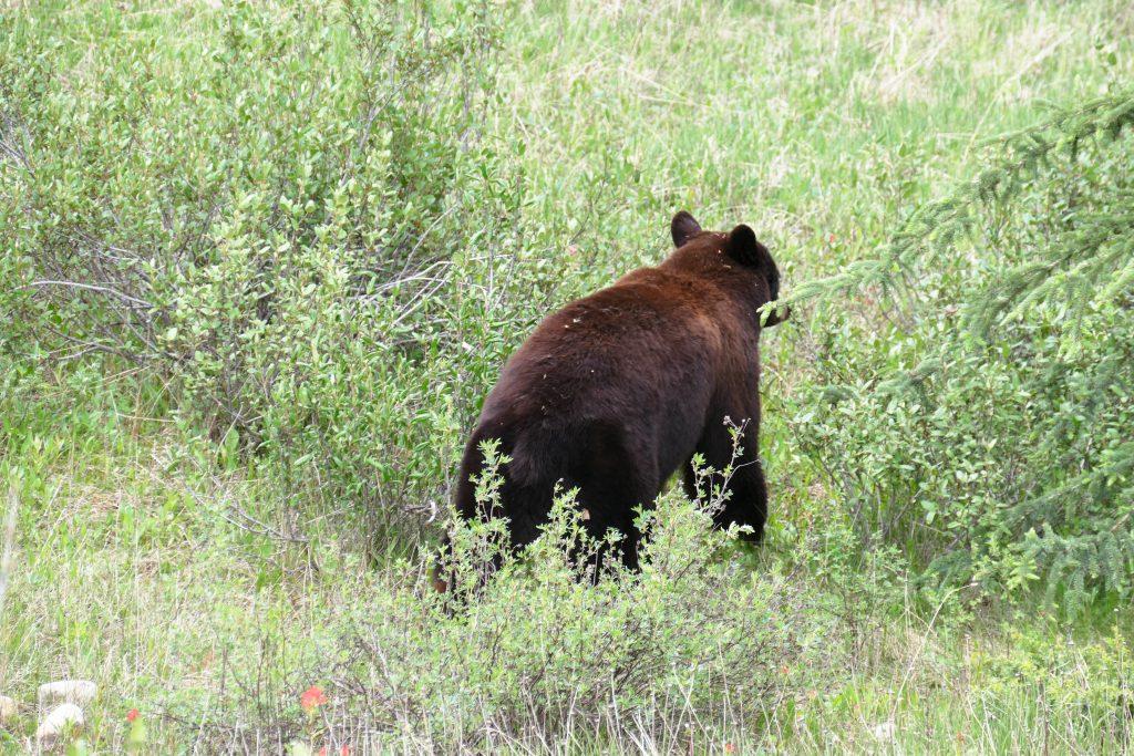 Banff Wildlife