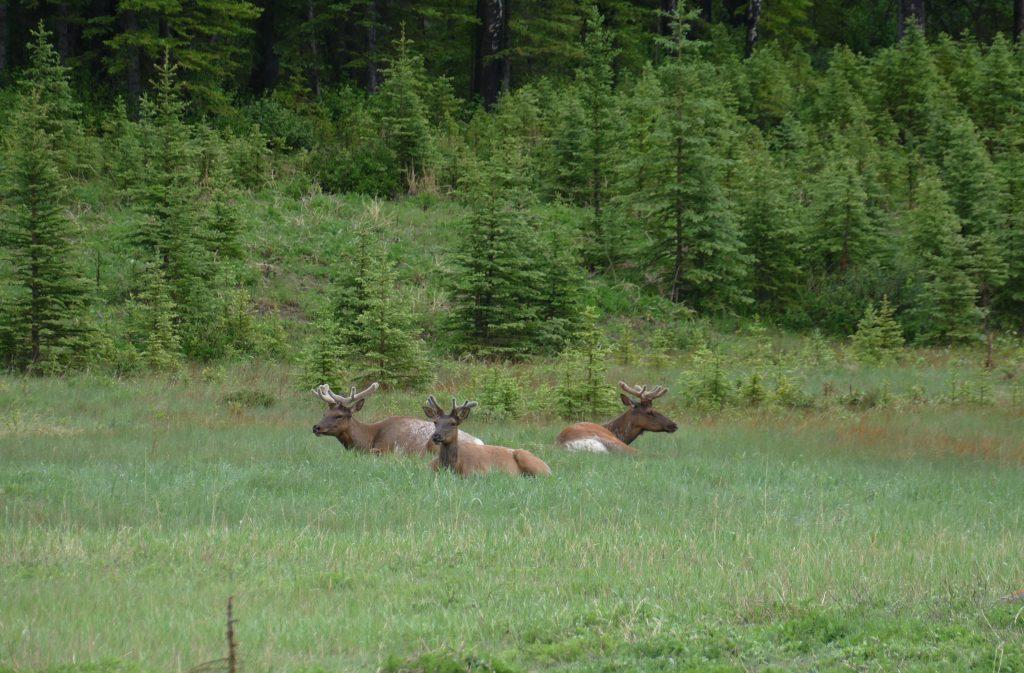 Banff National Park - Wildlife