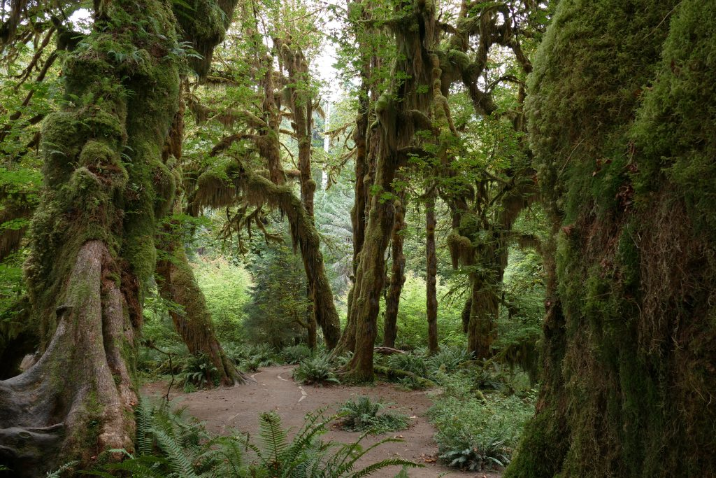Nationale Parken in Amerika - Hall of Mosses / Hoh Rainforest
